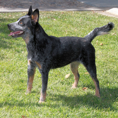 Normal Blue Heeler dark blue coat
