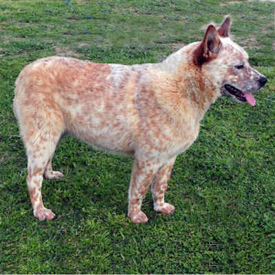 Full Framed Queensland Heeler male red coat